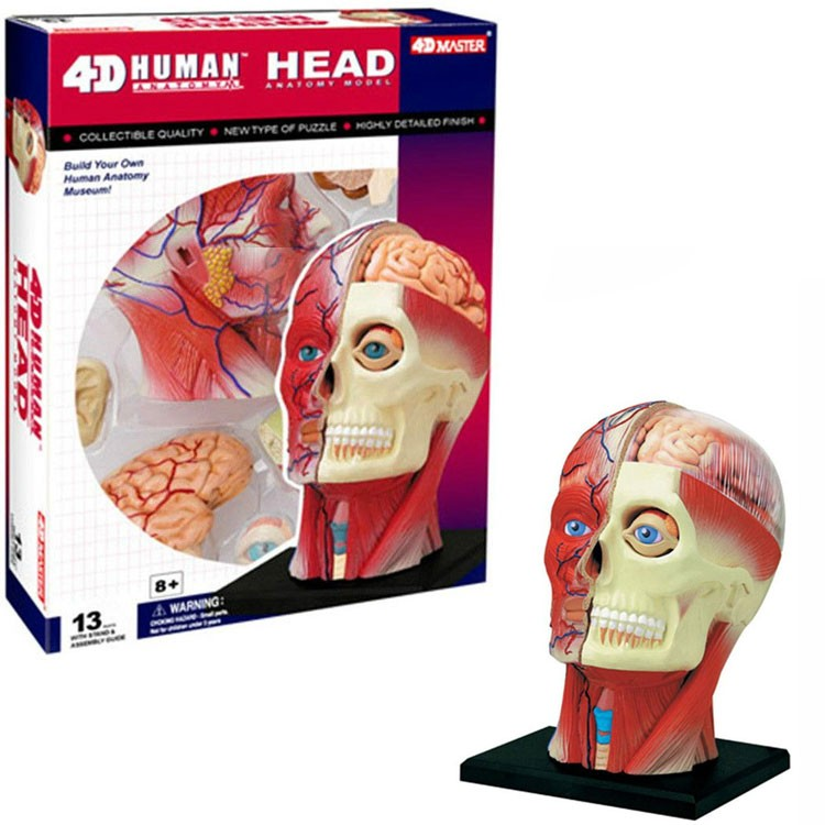 4d Human Head Anatomy Model Educational Toys Planet