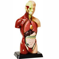 Human Body Anatomy Model - 10 Inches