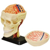 Human Brain 3D Anatomy Model with CD Science Set