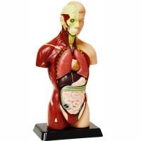 Human Body Anatomy Model - 10 Inches
