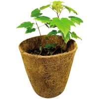 Grow Your Own Red Maple Tree
