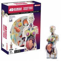 4D Human Pregnancy Torso Anatomy Model
