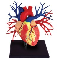 Human Heart Anatomy Life Size 4D Deluxe Model